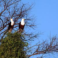 Africa, Botswana, Okavango Delta. African Fish Eagles.