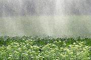 Nederland, Ottersum, 12-8-2018 Boeren laten hun land  beregenen door een loonbedrijf, loonwerkersbedrijf, vanwege de langdurige, aanhoudende droogte. Foto: Flip Franssen