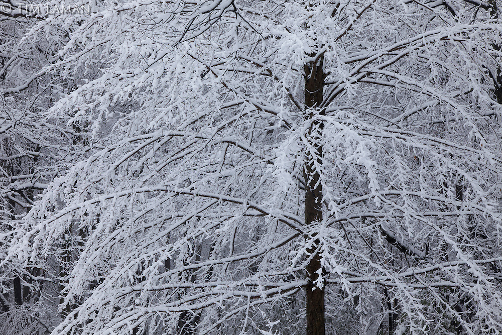 Fresh snow covers trees at Walden Pond.