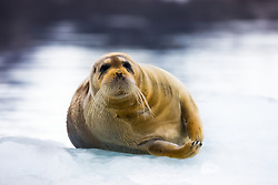 Bearded seal (Erignathus barbatus) in Spitsbergen, Svalbard