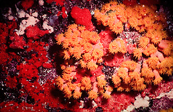 Coral mole na indonesia, ocorrendo tambem na australia e no mar vermelho..A Alcyonacea, ou coral mole pertence a ordem de corais que nao produz carbonato de calcio./.The Alcyonacea, or the soft corals are an order of corals which do not produce calcium carbonate cups, instead they contain minute, spiney skeletal elements called sclerites.  Other organisms in this class include sea pens, sea fans, sea whips and fleshy soft corals..Foto:Christiana Carvalho/Argosfoto