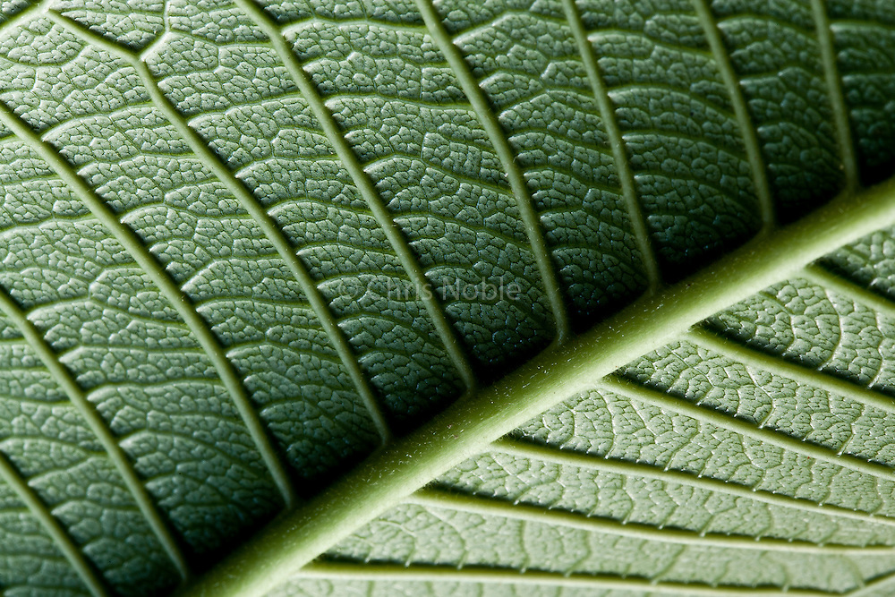 Macro image of the vein structure of a frangipani tree leaf in Thailand.