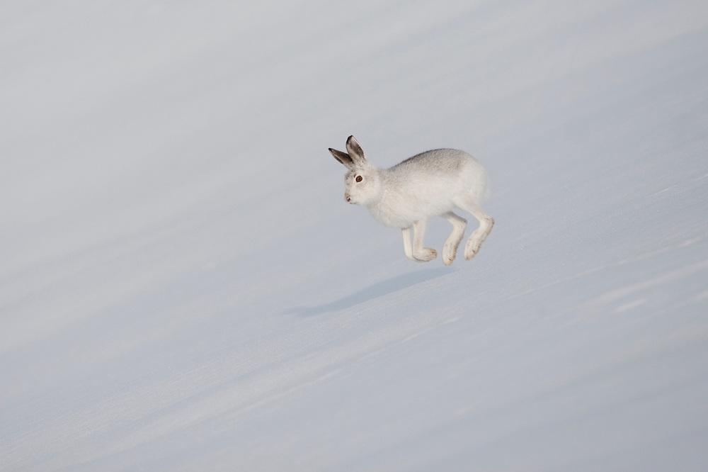 Mountain hare (Lepus timidus) in winter pelage, running across snow. Scotland. January 2010.