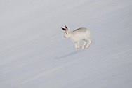 Mountain hare (Lepus timidus) in winter pelage, running across snow. Scotland. January 2010.