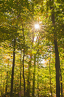 Sun rays bursted through trees in golden fall foliage, Stowe, Vermont