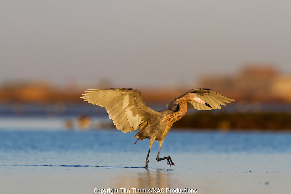 Reddish Egret, Egretta rufescens, Bolivar Flats, Texas gulf coast, fishing with extended wings, raised leg, golden light