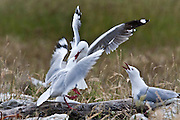 Red-billed Gull, colony, Kaikoura, New Zealand