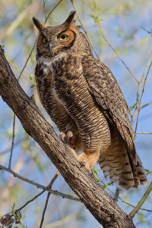 Great Horned Owl female, Twin Lakes, Boulder County, Colorado - 2016