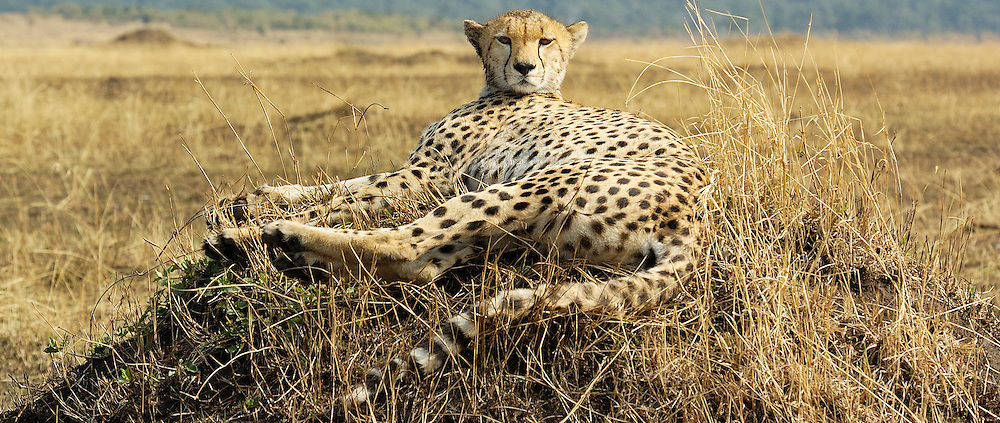 Cheeta sitting on a termite mond stares.