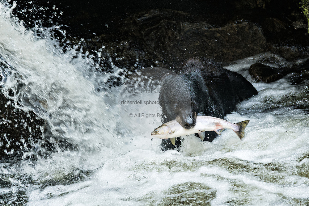 An adult American black bear grabs a spawning salmon at the falls in Anan Creek at the Tongass National Forest, Alaska. Anan Creek is one of the most prolific salmon runs in Alaska and dozens of black and brown bears gather yearly to feast on the spawning salmon.