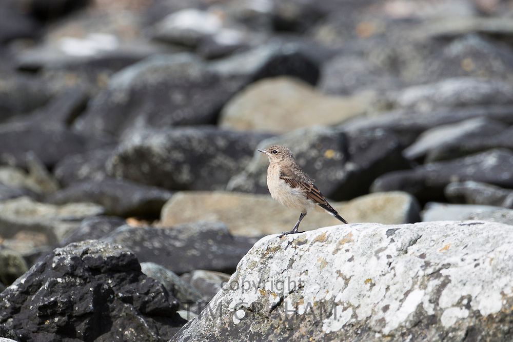 Juvenile Rock Pipit , Anthus petrosus, a shoreline bird on Isle of Mull in the Inner Hebrides and Western Isles, Scotland