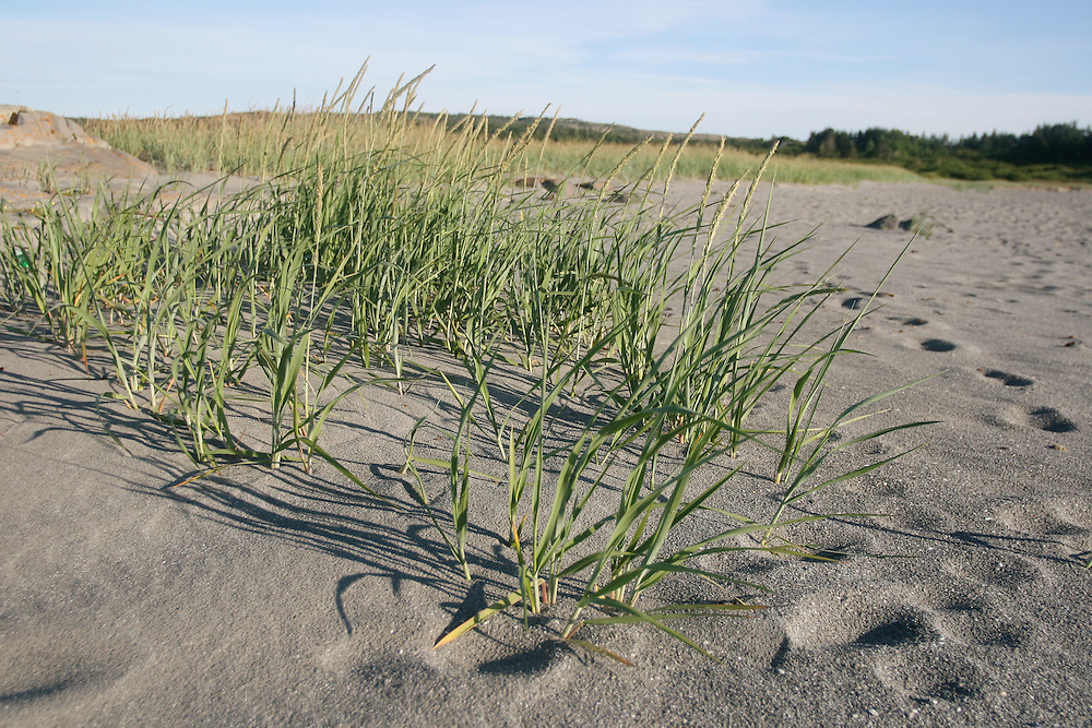 14 July 2007 Kittiwake Coast, NL, Canada,  --..The beach grass at Tilting, NL's beach rustles in the early morning wind...Photo by Will Nunnally / Will Nunnally Photography
