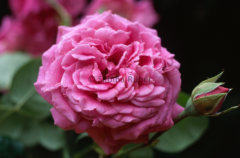 Rosa Chartreuse de Parme (Delviola) - hybrid tea rose