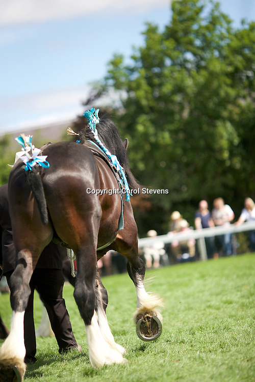 Mr C &amp; Mrs D Braithwaite's 3 yr old Stallion<br /> Corey Mill Spencer<br /> Sire  Knutsford Edward 2nd<br /> Winner  Colt or Stallion 2 yrs old or over