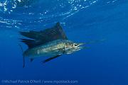 Sportfishermen release an Atlantic Sailfish, Istiophorus albicans, offshore Juno Beach, Florida, United States during a fishing charter.