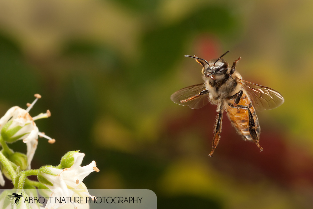 Apis mellifera (European Honey Bee) in flight; image captured using high speed flash.<br /> TEXAS: Travis Co.<br /> Austin<br /> 30.March.2009<br /> J.C. Abbott