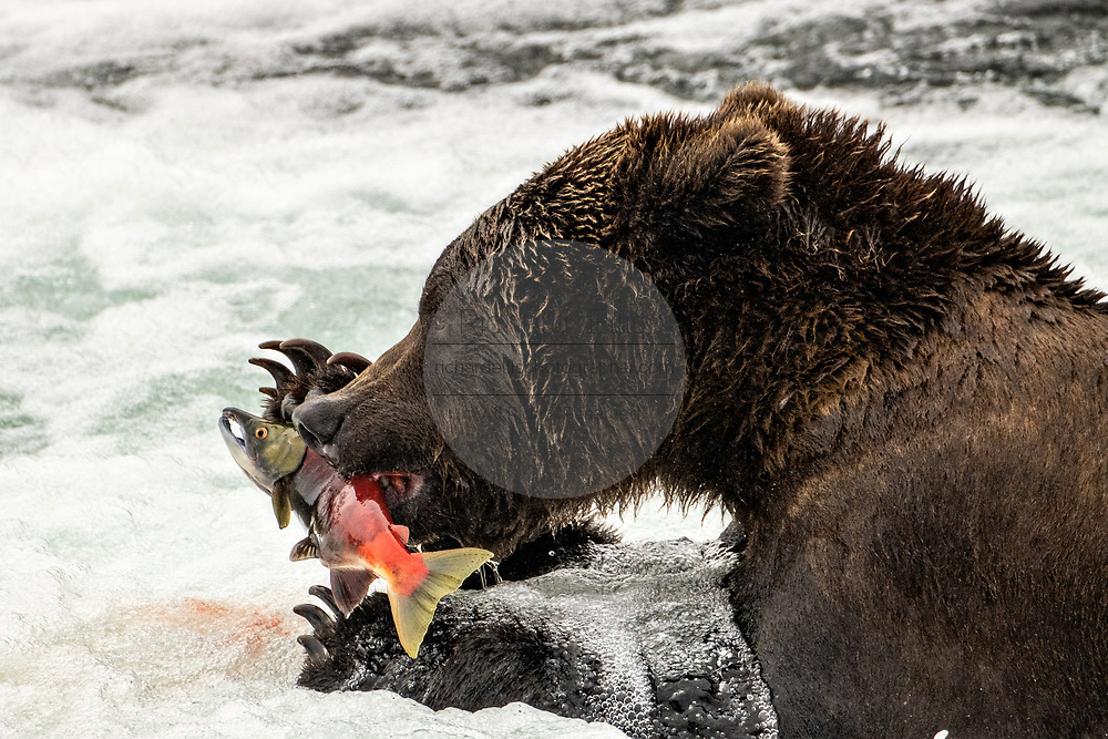 An adult Brown Bear catches a Sockeye Salmon at Brooks Falls in Katmai National Park and Preserve September 15, 2019 near King Salmon, Alaska. The park spans the worlds largest salmon run with nearly 62 million salmon migrating through the streams which feeds some of the largest bears in the world.