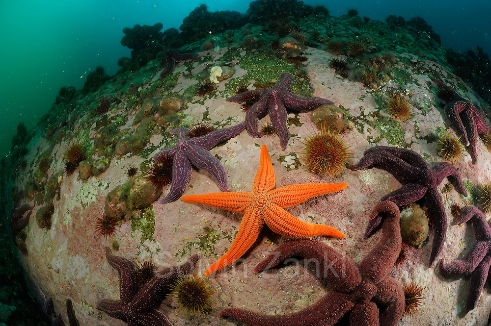 middle: Common light striated star (Stichaster striatus) surrounded by Common fjord starfish (Cosmasterias lurida) Comau Fjord, Patagonia, Chile |