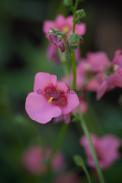 Diascia barberae 'Pink Queen' - twinspur