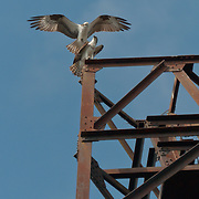 A pair of Osprey (Pandion haliaetus) at their nest on Salmon Bay Bridge in Seattle, Washington.