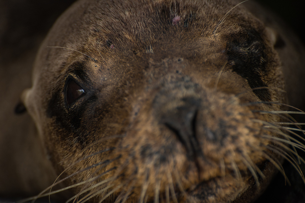 Young sea lion is sleeping and looks with one eye into the camera, Santa Cruz, Galapagos, Ecuador.