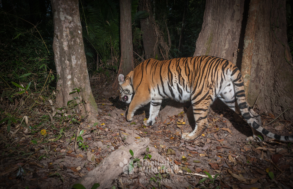 The Indochinese tiger (Panthera tigris corbetti)  is a tiger subspecies dispersed throughout the Indochina region of Southeastern Asia. The Indochinese tiger population was is estimated at 200 total individuals in the wild, in Thailand.