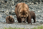 A grizzly bear sow with her spring cubs on the shore of the lower lagoon at the McNeil River State Game Sanctuary on the Kenai Peninsula, Alaska. The remote site is accessed only with a special permit and is the world's largest seasonal population of brown bears.
