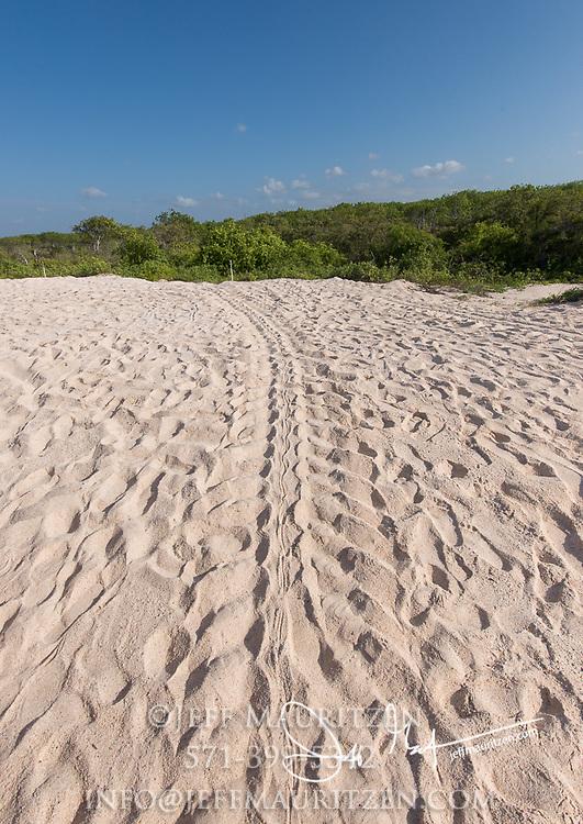 Sea turtle tracks lead off from the beach on Santa Cruz island in the Galapagos archipelago of Ecuador.