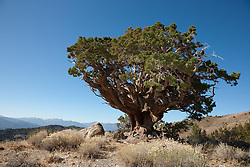 """Juniper Tree 3"" - This very old juniper tree was photographed along Monitor Pass, California."