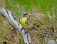 A male Kirtland's Warbler approaching the nest with food, June 2006, near Mio (Michigan)
