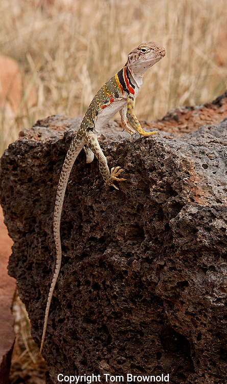 Collard Lizard on a basalt rock