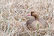 Greater White-fronted Goose, Anser albifrons, female one nest, Yukon Delta NWR, Alaska