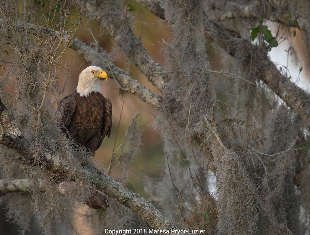 Bald Eagle in oak tree, Haliaeetus leucocephalus, Ft.Myers, Florida