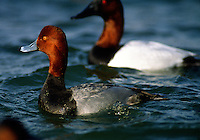 A Redhead duck, Aythya americana is photograaphed next to a canvasback duck , Aythya valisineria, showing the contrast between the two diving ducks.