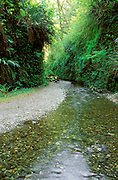 Creek and hanging ferns in Fern Canyon, Prairie Creek Redwoods State Park