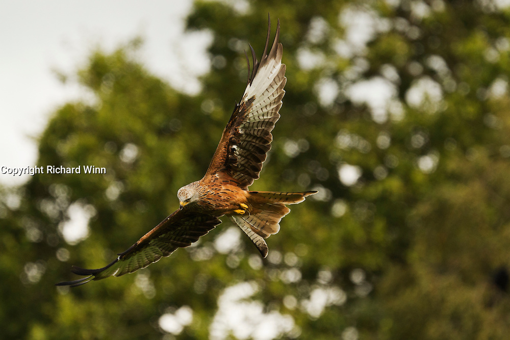 Red kite (Milvus milvus) flying past the hides, while looking down, at the Gigrin Farm feeding station.