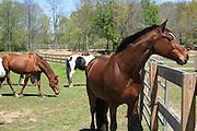 Lead mare keeps watch over her herd.