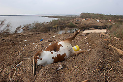 25 Sept, 2005.  Cameron, Louisiana. Hurricane Rita aftermath. <br /> Dead cattle and other animals litter the banks of the canal.<br /> Photo; ©Charlie Varley/varleypix.com