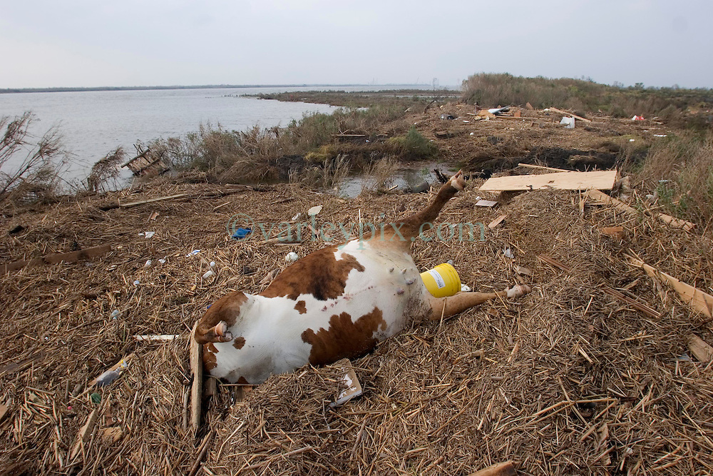 25 Sept, 2005.  Cameron, Louisiana. Hurricane Rita aftermath. <br /> Dead cattle and other animals litter the banks of the canal.<br /> Photo; &copy;Charlie Varley/varleypix.com