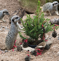 ZSL London Zoo, London, December 15th 2016. Christmas comes ten days early for the Sumatran tiger cubs at at ZSL London Zoo. Mother Melati and her two cubs Achilles and Karis wake up to Christmas presents in their enclosure and the two unruly six-month-old cubs set about opening them. PICTURED: Meerkats search for treats in a Christmas tree.
