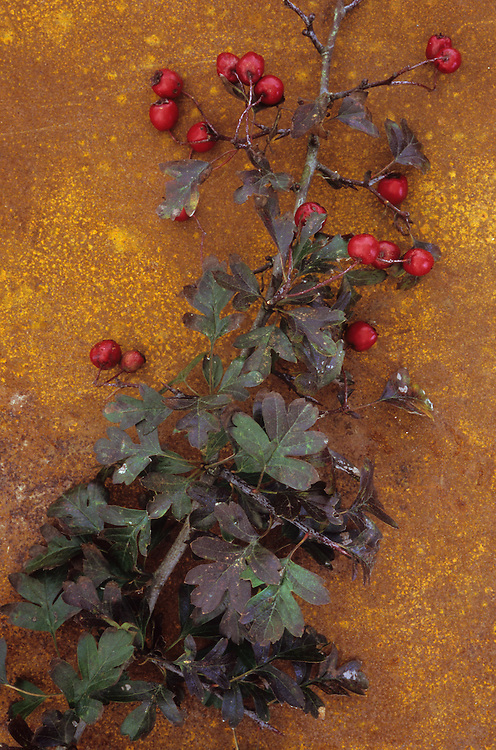 Stem of Hawthorn or May or Crataegus monogyna lying with its red berries and autumnal leaves on rusty metal sheet