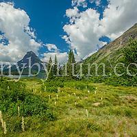 sinopah mountain bear grass along two medicine lake glacier national park