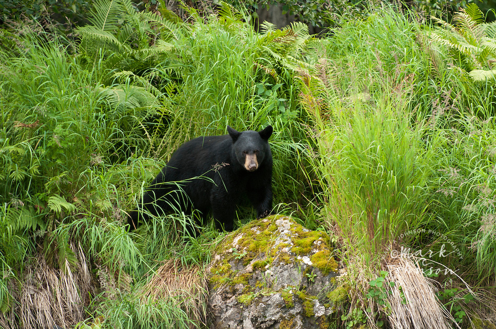Black Bear, Russian River, Alaska