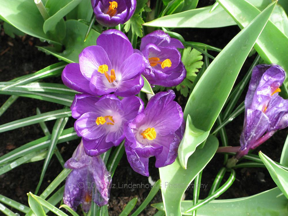 Purple Crocus in Garden