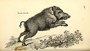 Wild Boar (Sus scrofa) from General zoology, or, Systematic natural history Vol II Part 2 Mammalia, by Shaw, George, 1751-1813; Stephens, James Francis, 1792-1853; Heath, Charles, 1785-1848, engraver; Griffith, Mrs., engraver; Chappelow. Copperplate Printed in London in 1801 by G. Kearsley