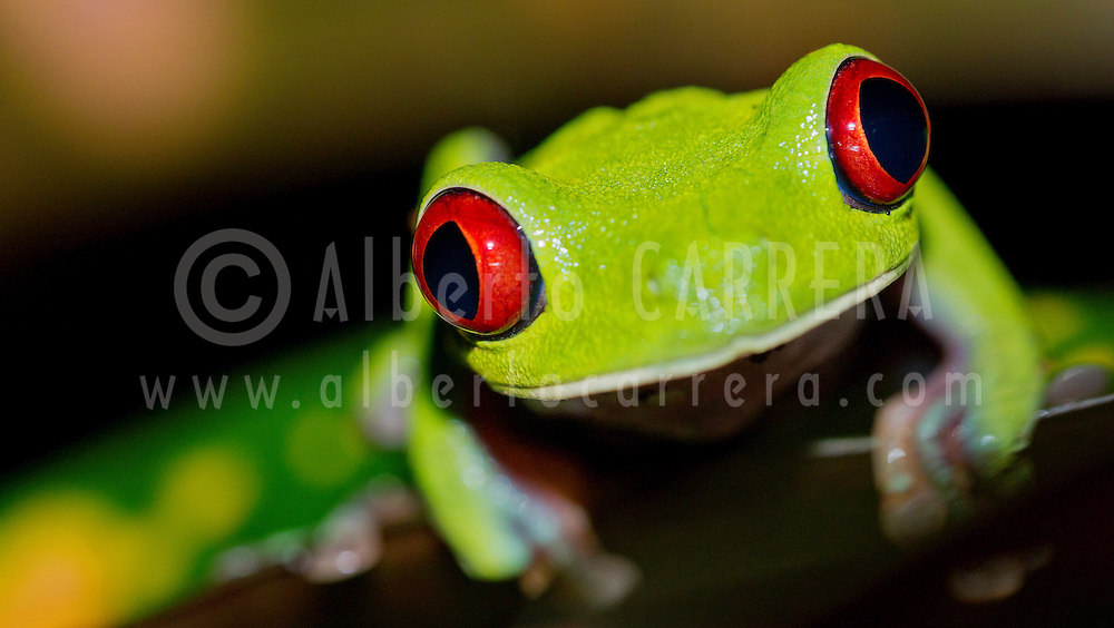 Alberto Carrera, Red-eyed Tree Frog, Agalychnis callidryas, Tropical Rainforest, Corcovado National Park, Osa Conservation Area, Osa Peninsula, Costa Rica, Central America, America