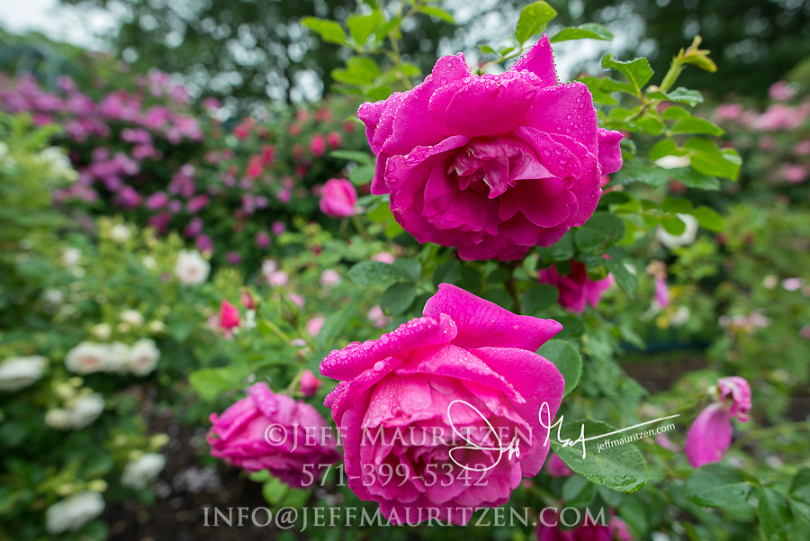 A Geoff Hamilton or English rose flowering in springtime.
