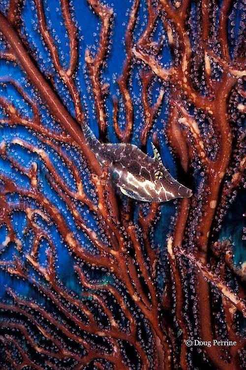 slender filefish, Monacanthus tuckeri, hiding in deepwater sea fan, Iciligorgia schrammi, St. Vincent, West Indies ( Caribbean )