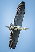 Grey Heron in flight | Gråhegre i lufta