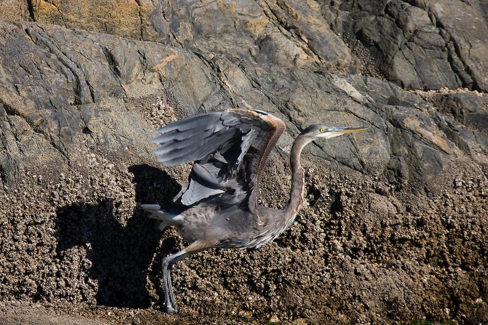 Great Blue Heron (Ardea herodias) near Desolation Sound, BC.